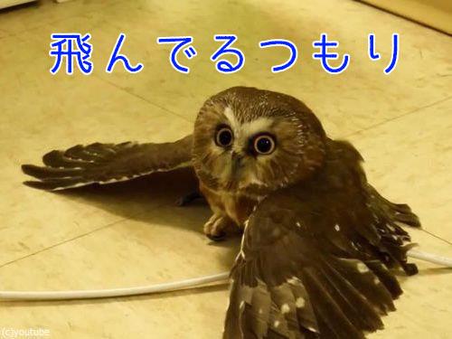 地面を飛ぶフクロウ00