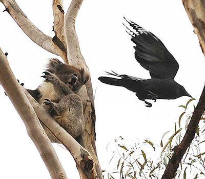 空飛ぶコアラ02