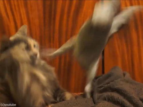 インコが猫にイタズラ04