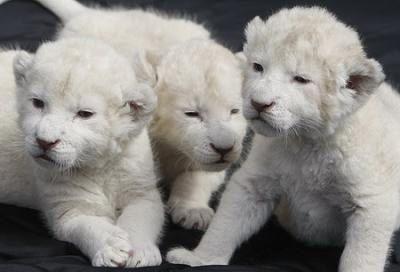 ホワイト・ライオンの赤ちゃんたちTOP