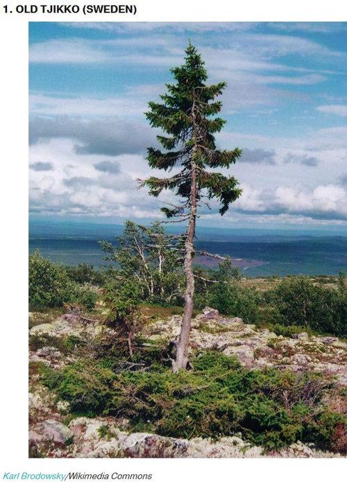 樹齢2000年のオリーブの木03