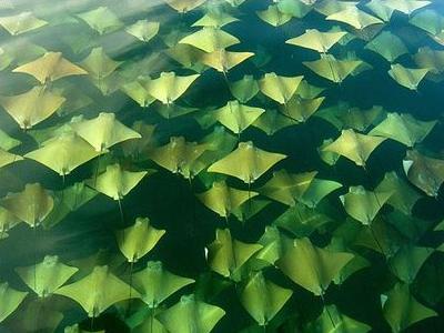 海面を幻想的に埋めつくす黄金のエイの大移動TOP
