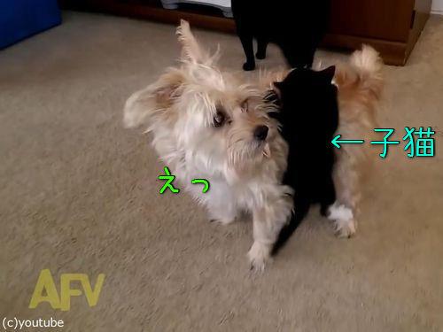 犬の体に子猫がしがみつく00