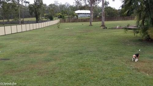 犬とラジコンカーと広い庭04