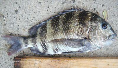 人間のような歯を持つ魚03