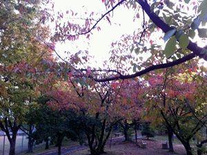 色づきだした散歩コースの桜並木