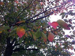 色づき始めた桜の葉っぱ