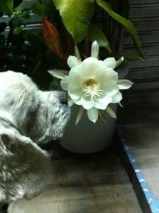 月下美人のお花をクンクン