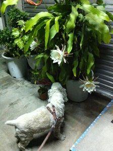 月下美人の植木鉢とレディ子さん