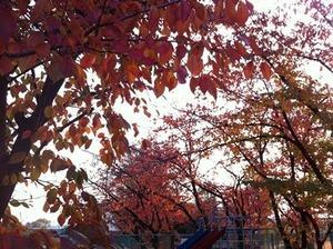 紅葉した桜の木々