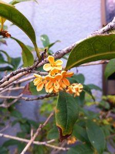 二度咲きした金木犀の花