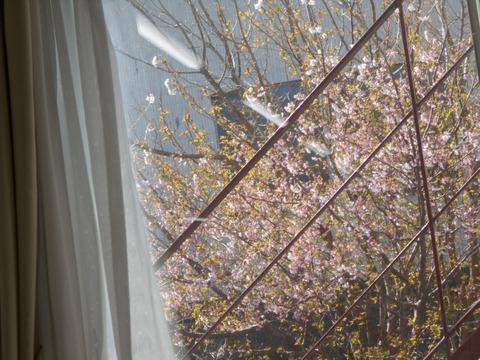 窓のさくら
