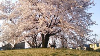 DSC_2117桜