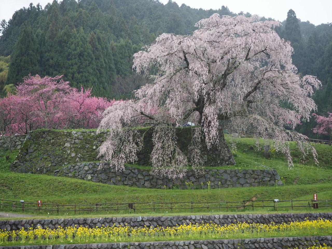 春の嵐 桜吹雪 花見酒 : リアス...