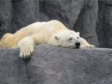 疲弊するシロクマ