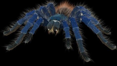 tarantula03s