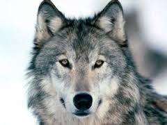 メモデフ狼