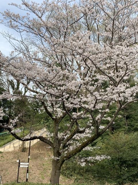 芹が谷公園の多目的広場の桜