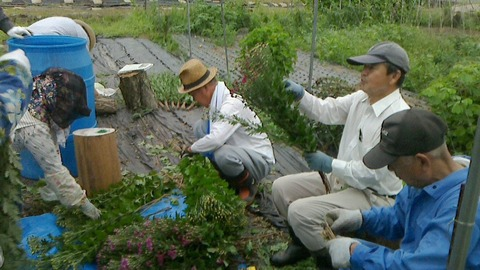菊の選花作業