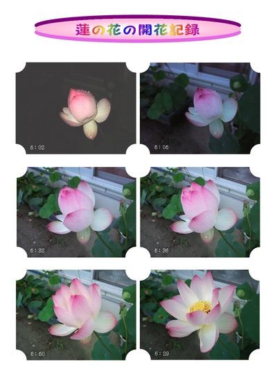 蓮の花の蕾が開花する様子
