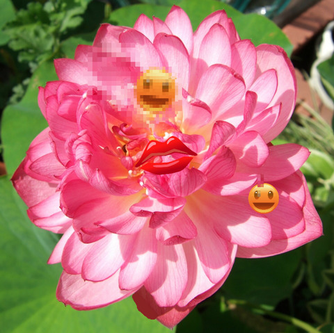 ハスの花-1