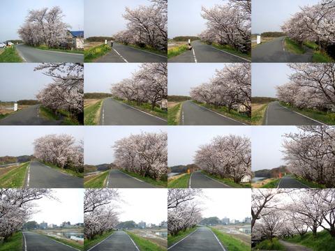 船小屋土手桜