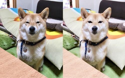 柴犬どんぐり3