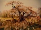 三春しだれ桜 002