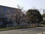 桜咲く0329