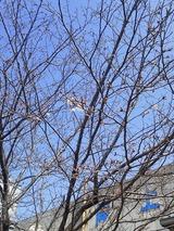桜咲く0324