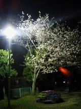 夜桜0328 (1)