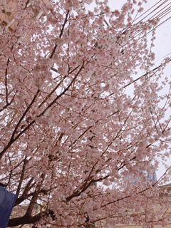 2018雪の日桜2