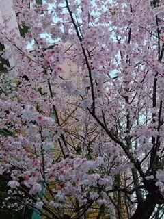 2018雪の日桜1