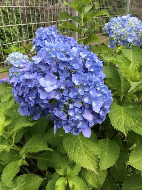 紫陽花1 (1)