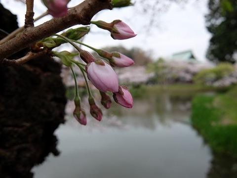 横浜_桜_3
