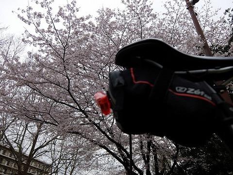 横浜_桜_6
