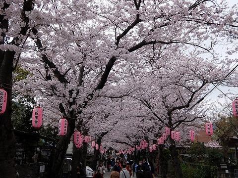 横浜_桜_1