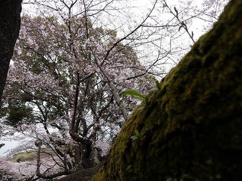 横浜_桜_5
