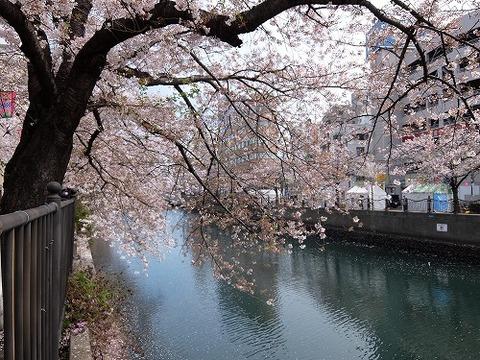 横浜_桜_10