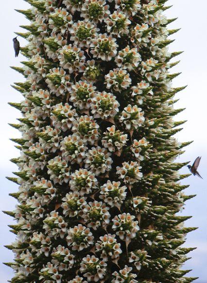 rare-plant-blooms-bolivia-hummingbird_28909_big