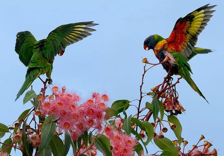 800px-Trichoglossus_haematodus_-open_wings_-Brisbane_-8