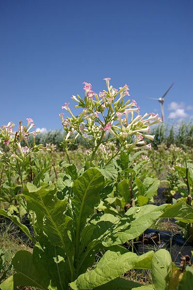 398px-Nicotiana_at_IE_island