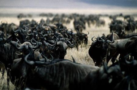 800px-Wilderbeest