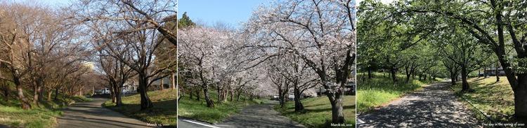 ①■ 桜並木 初春~満開~葉桜の並木 H1000
