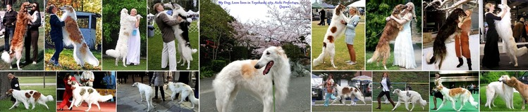 ◆Borzoi - Huge but beautiful dogs 01