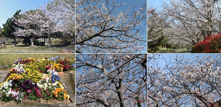 ②■ 桜 W3099 H1505 comment