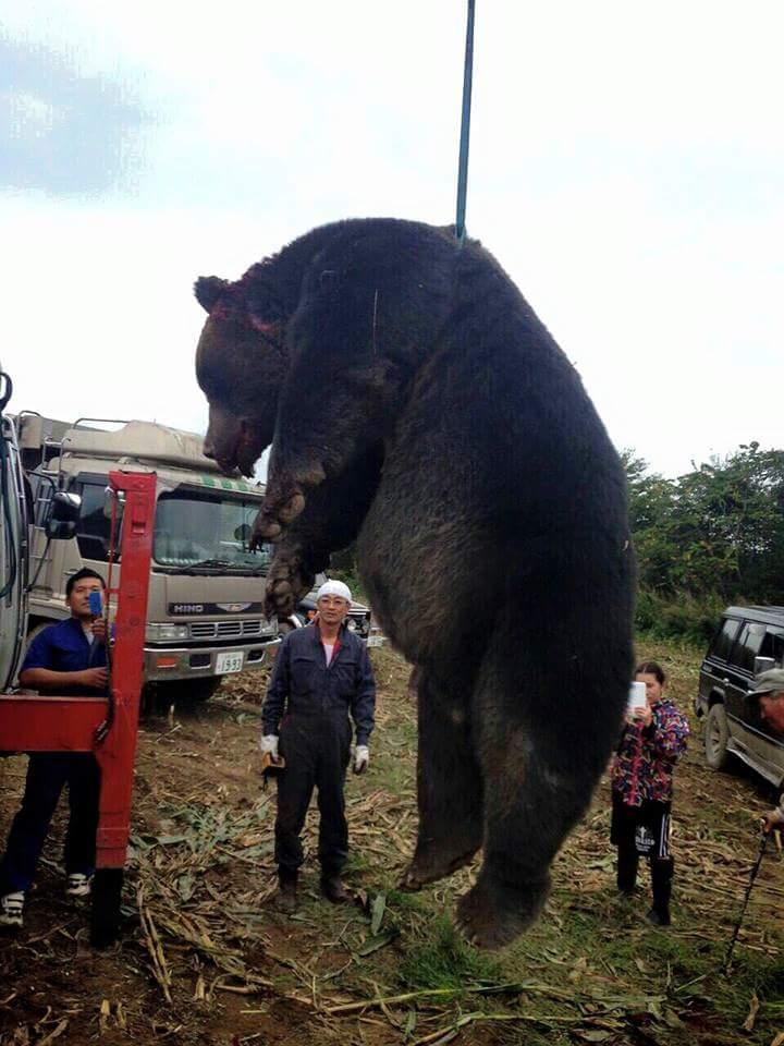NGO Life Investigation Agency                        LIA            体重400キロ巨体ヒグマ 紋別のデントコーン畑で駆除(転載記事)トラックバック