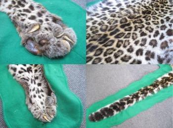トラ 虎 剥製 敷物3