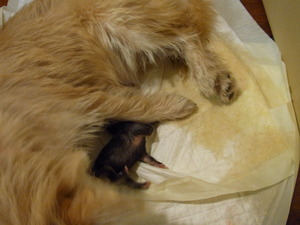 Penny gives birth to 4 pups 020