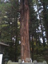 春宮結びの杉